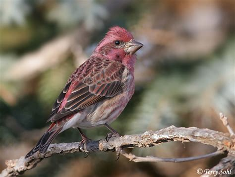 purple house finch identification keys and tips house finch vs purple finch