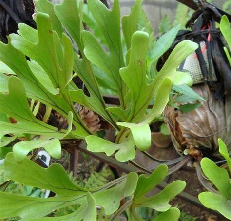 tanaman simbar menjangan tegak tanaman hias daun