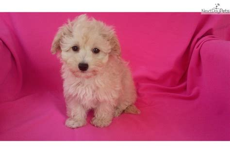 maltipoo puppies for sale in los angeles teddy maltipoo puppies puppy in los angeles ca breeds picture