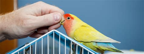 Care Lovebird lovebird care a guide for new parronts