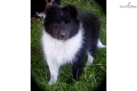 sheltie puppies mn shetland sheepdog sheltie for sale for 1 250 near mankato minnesota 966ad080 d991