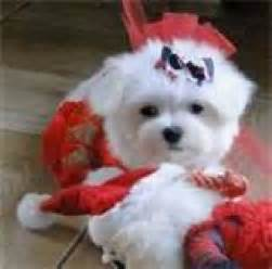 Pure breed teacup maltese puppies for adoption offer california los