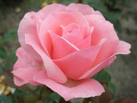 Types Of Garden Roses - 29 best images about roses on pinterest the queen and home and garden
