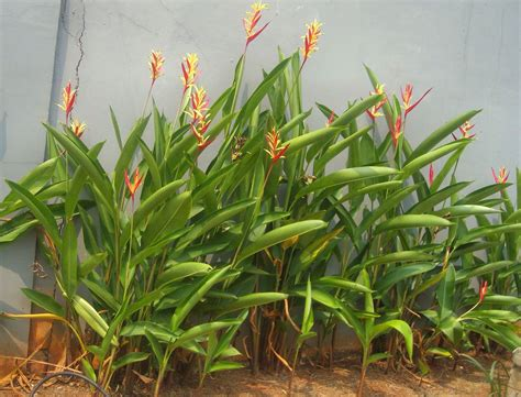 tropical plants pictures tropical plant pictures heliconia
