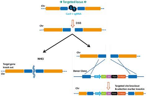 Crispr Cas9 Specificity Taming Off Target Mutagenesis Genecopoeia Crispr Repair Template