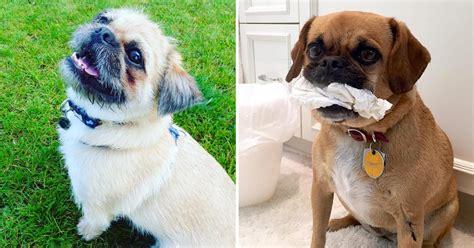 pug chino el resultado de la cruza de pugs con otras razas de perros es demasiado para el