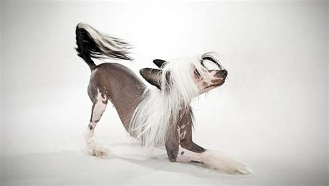 Chinese Crested (Hairless)   Small Dog Breeds   DBCentral