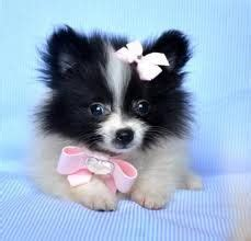 pomeranian for sale orlando 1000 images about schattige dieren on dieren kittens and baby foxes