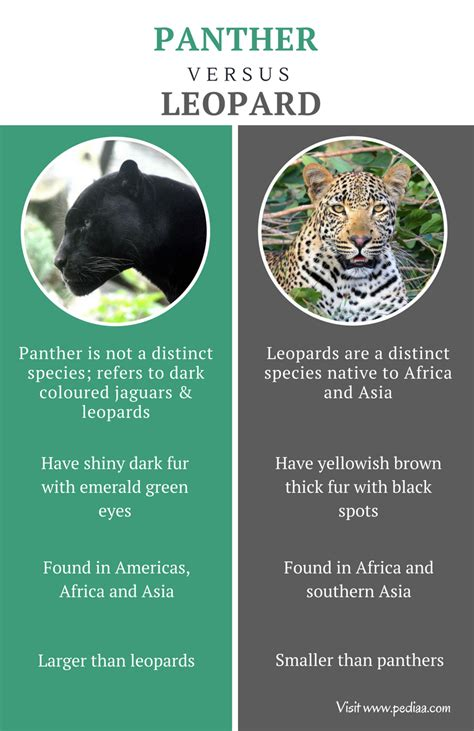 difference between jaguar leopard and panther difference between panther and leopard facts features