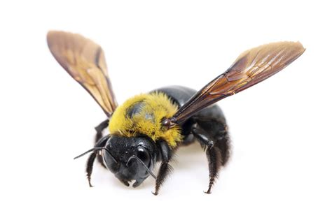 3 truths about carpenter bees that may surprise you