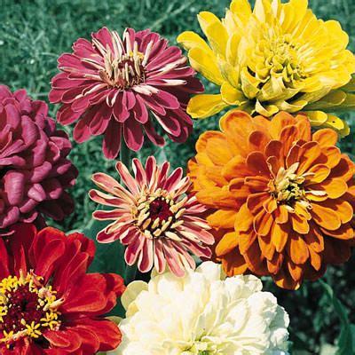 Garden State Festival by Zinnia Seeds 121 Top Zinnias Annual Flower Seeds S G S