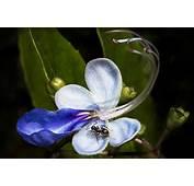 Blue Butterfly Flower