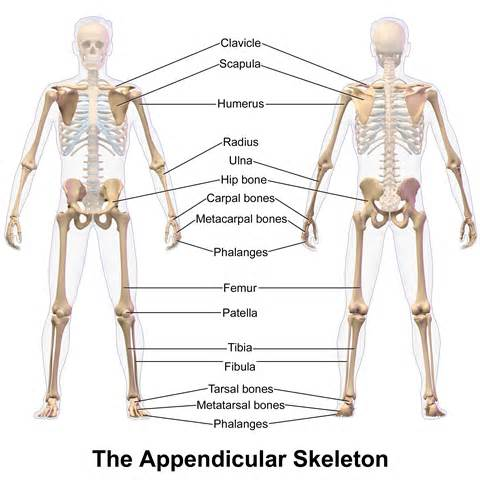 appendicular skeleton diagram file appendicular skeleton png