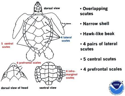 cycle of a turtle diagram 10 best images about green and hawksbill sea turtles on
