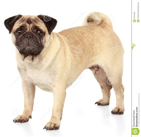pug white background pug on white background stock photo image 47547943