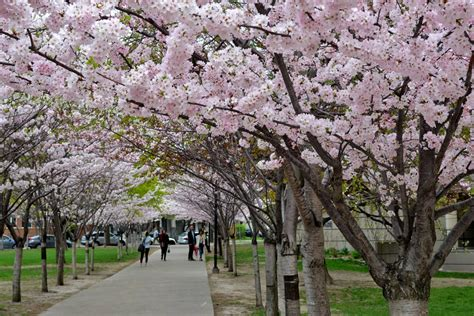 Find In Toronto 5 Places To Find Cherry Blossoms In Toronto Beyond High Park Blogto Howldb
