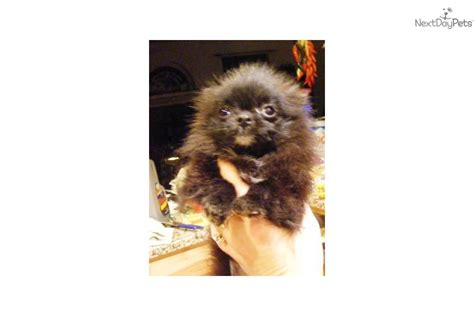 tuxedo pomeranian pomeranian puppy for sale near mohave county arizona 3cd4cb3e 0c91