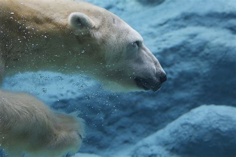 how do water last write about how do arctic animals stay warm in icy water