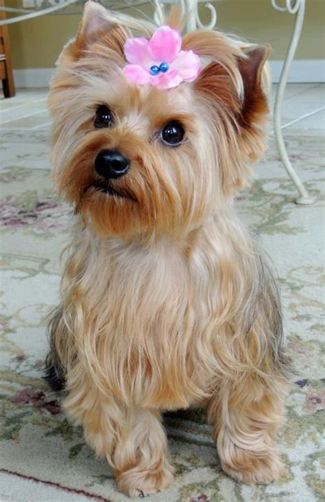 teacup yorkie characteristics puppy the morkie she s a 2 year cross breed mix between a