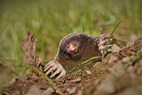 come allontanare i topi dal giardino come allontanare le talpe dal mio orto derattizzazioni