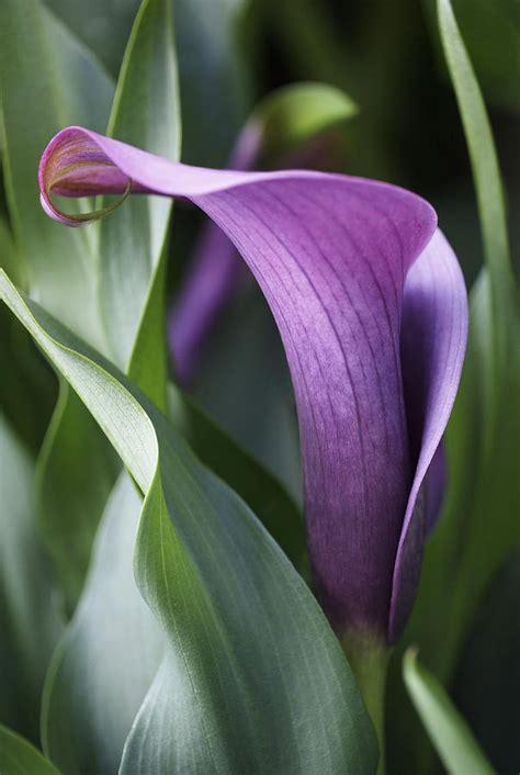 calla lily in purple ombre photograph by rona black