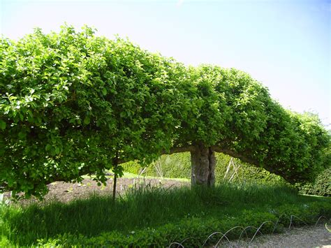 file espalier fruit tree at standen west sussex england may 2006 jpg wikipedia