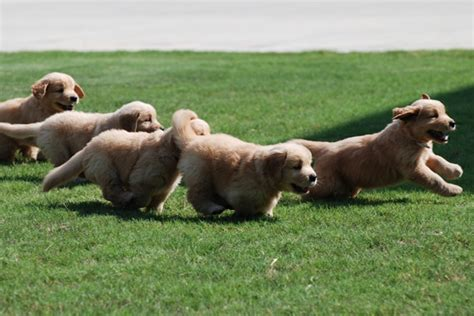 golden retriever puppies chattanooga tn puppies golden retriever puppies prism golden retrievers in ocala florida