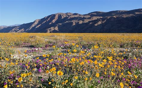 super bloom anza borrego hike the super bloom insidehook