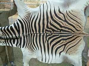 what color is a zebra s skin crafts market zebra hides