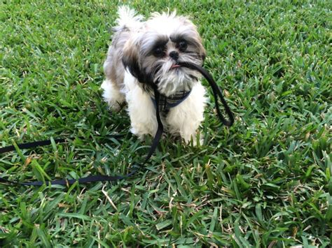 shih tzu puppy biting florida convicted of biting and choking it until its eye popped out