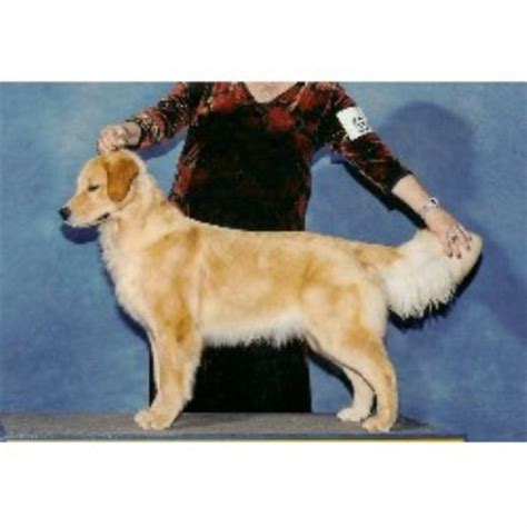 golden retriever breeders nc seasons gold golden retriever breeder in harrisburg carolina
