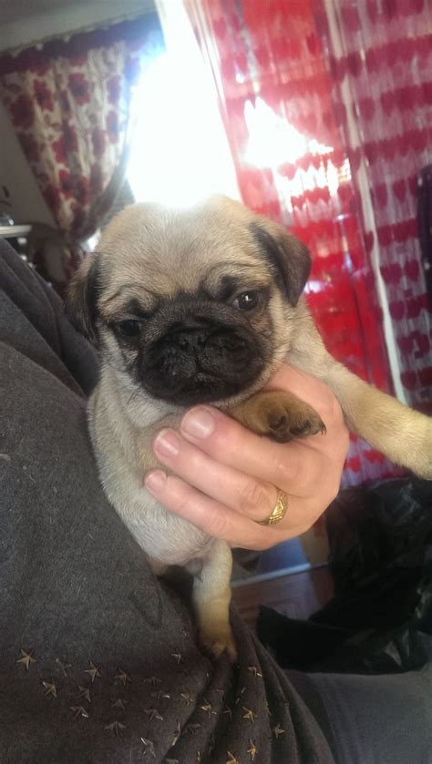 pug standard show standard pug puppies leigh greater manchester pets4homes