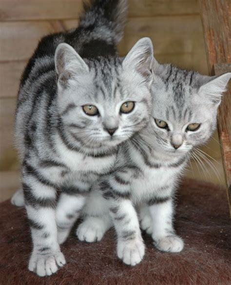 40 Pictures of Cute Silver Tabby Kittens   Tail and Fur