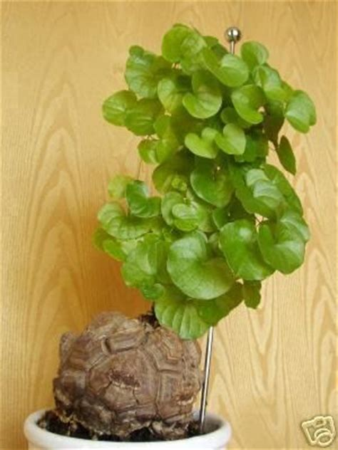 turtle succulent planter succulents favorite succulent the quot turtle back quot