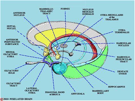 bed nucleus of the stria terminalis 404 not found