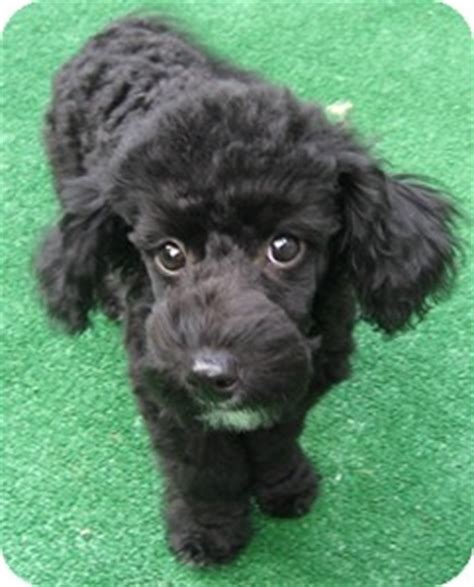 havanese massachusetts pat pending adoption adopted puppy pat dover ma poodle or tea cup