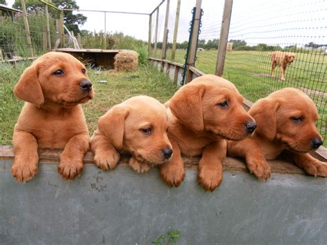 colors of labs fox lab puppies awww i never seen this color of