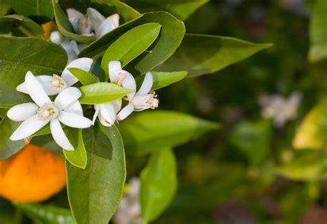 acqua fiori arancio l acqua di fiori di arancio amaro