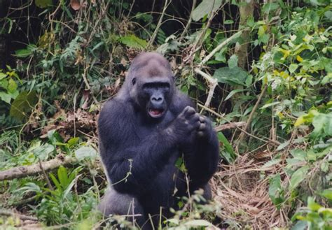amazon rainforest animals gorilla japanese photographer points his camera at cameroon for