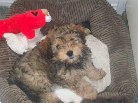 bichon yorkie mix for sale bichon yorkie mix breeds picture