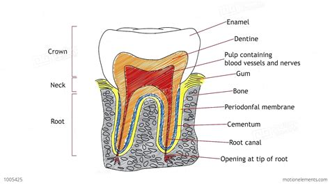 drawing diagrams diagram human tooth diagram