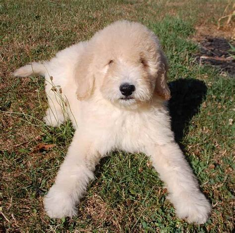 goldendoodle puppy cost goldendoodle puppies for sale