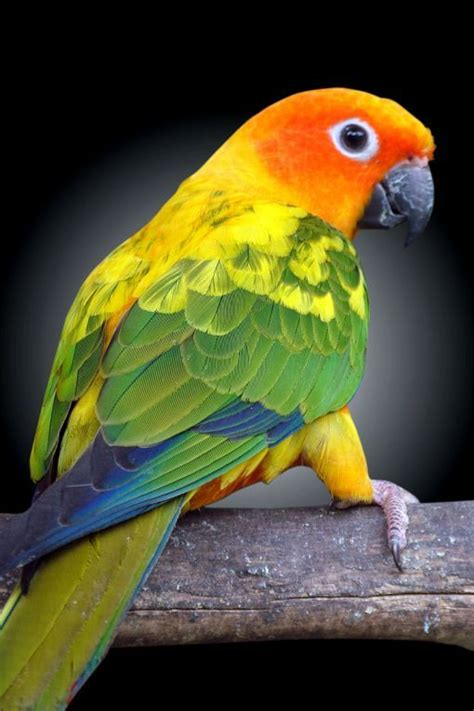 Kaos Burung Crimson Bellied Conure 17 best images about conures on birds south