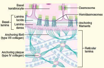 laminin basement membrane basement membrane