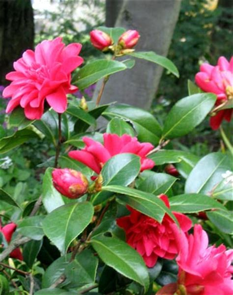 camellia flowering shrub camellias