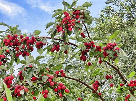 michigan fruit trees for sale buy crabapple trees for deer the wildlife