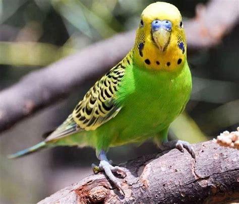 gabbia cenerino pappagalli domestici razze e caratteristiche idee green