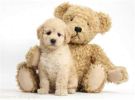 puppy teddy teddy puppies pictures