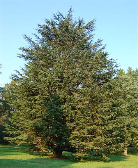 file atlas cedar cedrus atlantic tree 1909px jpg - Cedar Trees