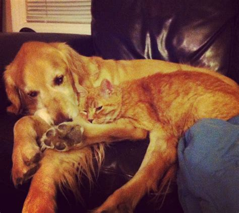 golden retriever died this golden retriever lost his best kitten friend but his humans surprised him with a